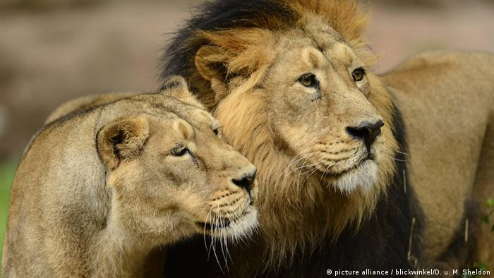 Bildergalerie Asiatischer Löwe