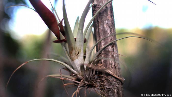 Epiphyt-Pflanze
