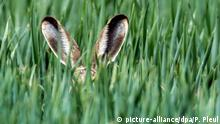 18.05.2015 *** Nur die langen Ohren eines Feldhasen ragen am 18.05.2015 aus einem jungen Getreidefeld im Oderbruch nahe Neuranft (Brandenburg). Hasen ernähren sich hauptsächlich von Wildgräsern und -kräutern, die zusammen auch als «Hasenapotheke» bezeichnet werden. Foto: Patrick Pleul/dpa +++(c) dpa - Bildfunk+++