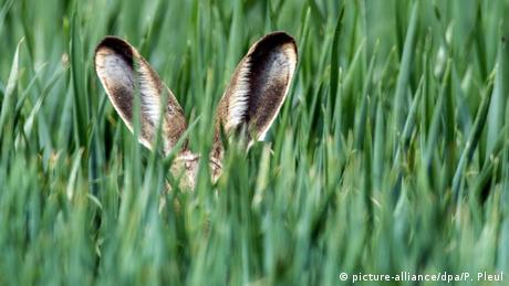 rabbit ears peek out of tall grass (picture-alliance/dpa/P. Pleul)