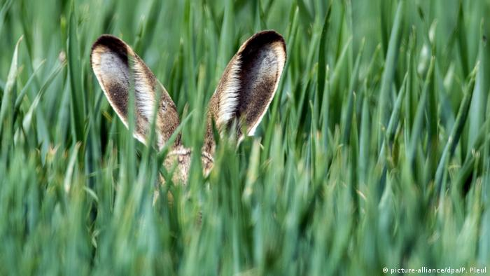 A hare hiding in tall grass