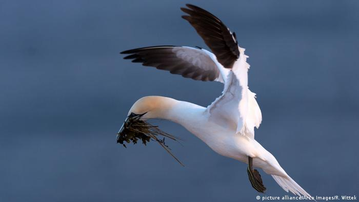 Gannet in northern Germany (picture alliance/Arco Images/R. Wittek)