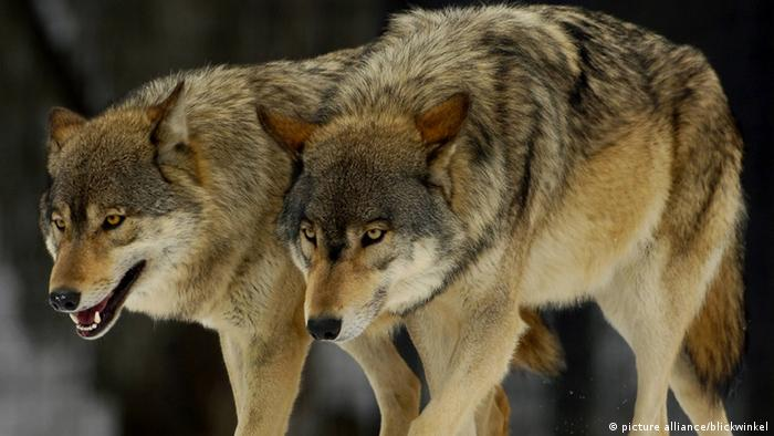 Two wolves walk next to each other