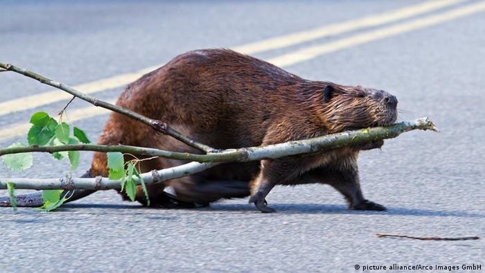 Tiere in Großstädten (Bildergalerie) Biber