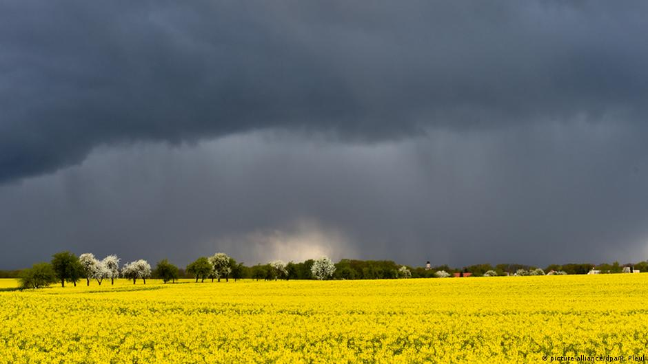 A bright yellow field of rapeseed is illuminated against a threatening sky