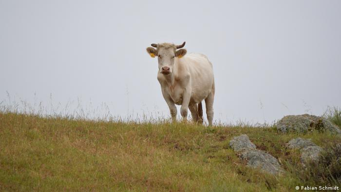 A cow Standing in the Diablo Mountain Range (Photo: Fabian Schmidt)