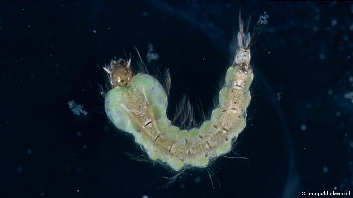 Anopheles mosquito larvae