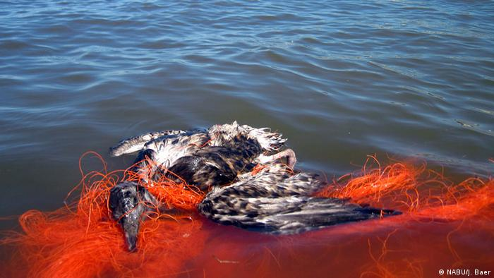 Young seagull killed in a ghost net.