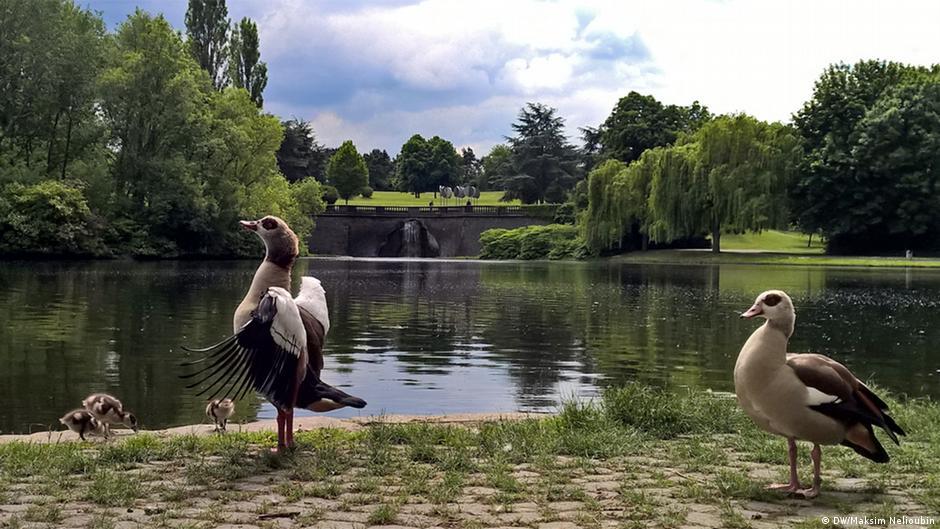 Nilgänse Bonn Rheinauenpark