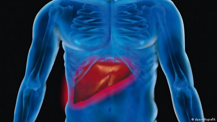 Grafik Leber im menschlichen Körper (dpa-infografik)