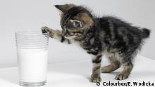 Kätzchen berühren ein Glas Milch