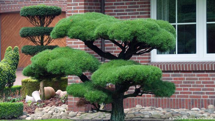 Bild von einem Riesen-Bonsaibaum im Garten