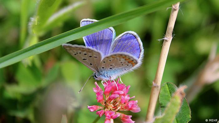 Iran KW22 Schmetterling