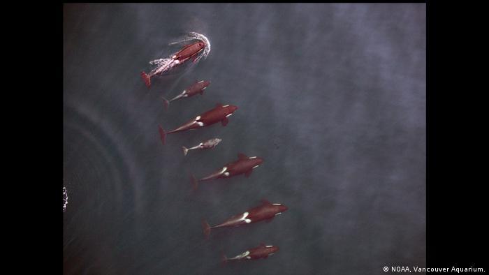 Pazifik Killerwale Gruppe