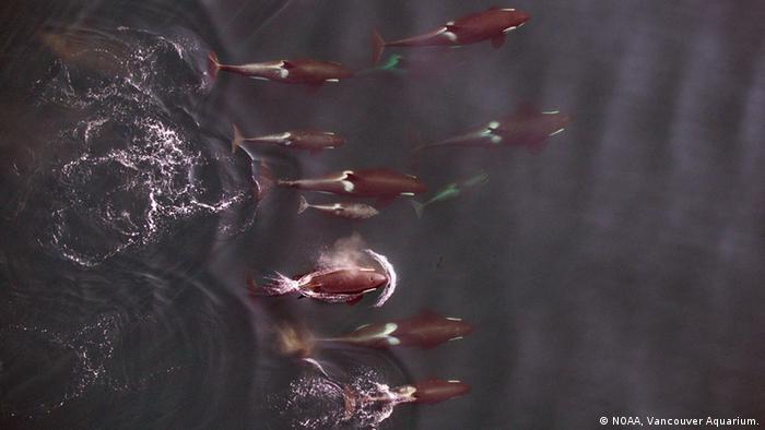 Pazifik Killerwale Gruppe Luftaufnahme