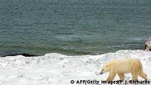 Eisbär an der kanadischen Küste