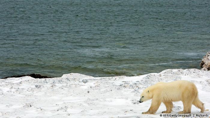 Білі ведмеді харчуються морськими котиками