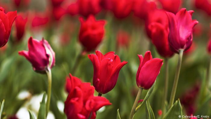 گل در عرصههای سیاسی و حزبی نیز نقش ایفا میکند؛ برای نمونه گل سرخ که یکی از نمادهای سوسیالدموکراتهای آلمان است یا جنبش نسل جوان در سال ۱۹۶۸ میلادی که با گل دست به اعتراض علیه جنگ ویتنام میزدند. افزون بر گل، رنگهای متفاوت نیز در جنبشهای و انقلابهای گوناگون در سراسر جهان نقش بازی کردهاند؛ از جمله انقلاب نارنجی در اوکراین یا جنبش سبز در ایران.