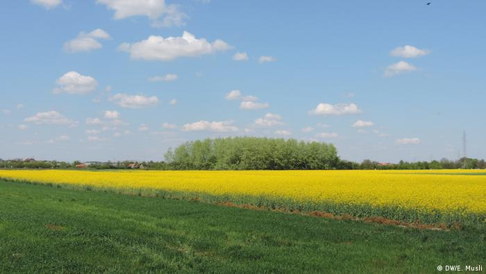 Polje uljane repice u blizini Bijeljine
