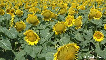Соняшникова олія стала однією з головних статей українського експорту
