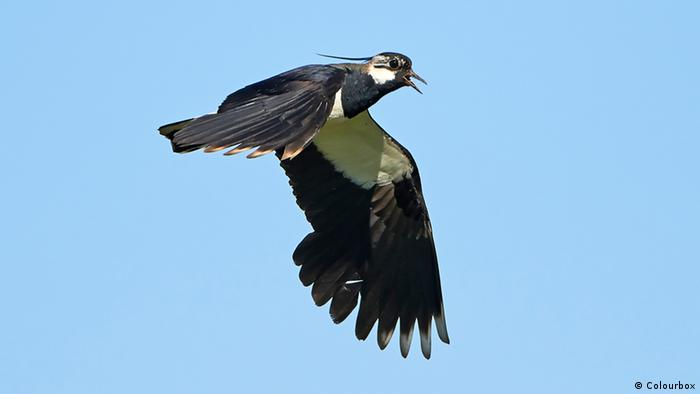 Northern Lapwing in flight, showing its black and white wings