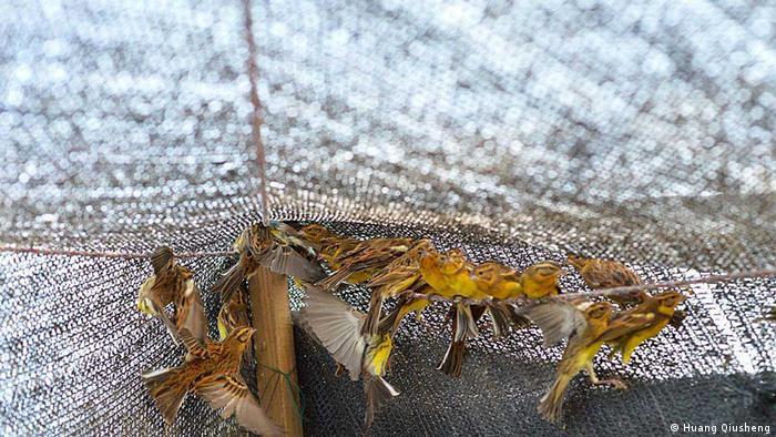 Die Weidenammer ist massiv vom Aussterben bedroht