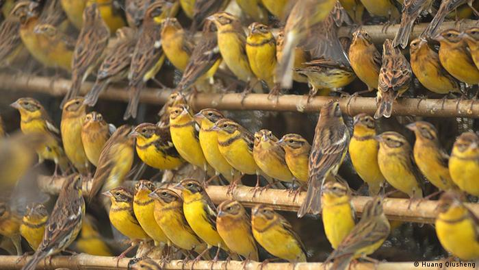 The yellow-breasted bunting is massively at risk of extinction (Foto: Huang Qiusheng)