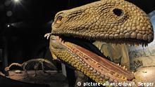 Das Skelett eines Plateosauriers (hinten) ist am Montag (11.10.2010) im Museum Auberlehaus in Trossingen (Landkreis Tuttlingen) neben einem Modell zu sehen. Die frühen pflanzenfressenden Dinosaurier lebten vor rund 212 Millionen Jahren. Sie wurden bis zu zehn Meter lang und wogen bis zu vier Tonnen. In der Umgebung von Trossingen wurden bisher 60 Dinosaurierskelette ausgegraben. Foto: Patrick Seeger dpa/lsw +++(c) dpa - Bildfunk+++