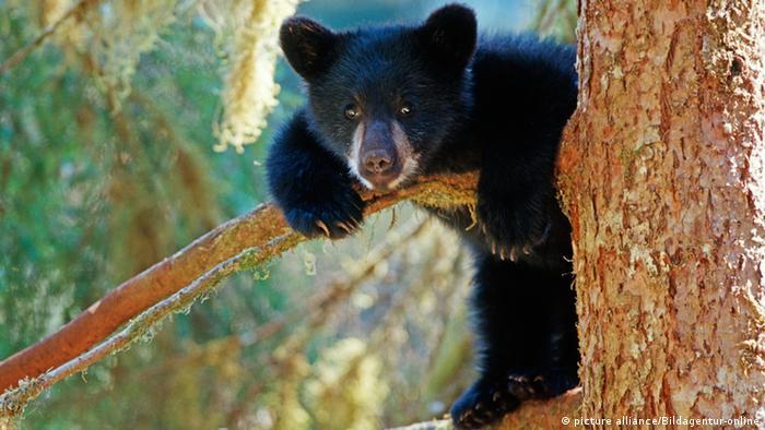 American Black Bear in a tree (picture alliance/Bildagentur-online)