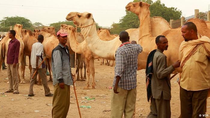 Several men standing in front of camels.