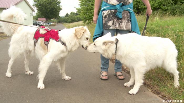 Zwei weiße Hunde beschnuppern sich auf einer Straße