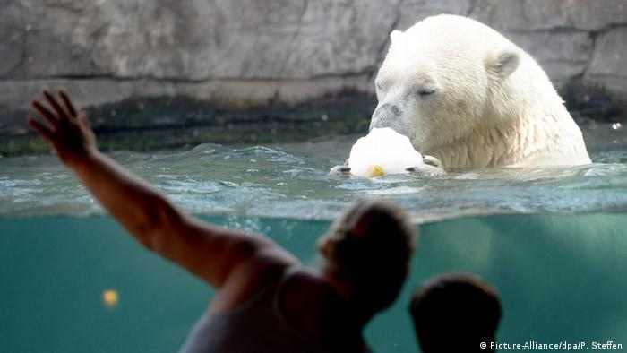 A polar bear holding a piece of ice (Picture-Alliance/dpa/P. Steffen)