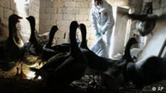 Vogelgrippe Gänse im Stall Türkei