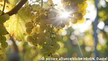 Echter Wein, Weinrebe (Vitis vinifera), reife Trauben am Rebstock, Deutschland, Rheinland-Pfalz, Pfalz   grape-vine, vine (Vitis vinifera), ripe grapes at the vine, Germany, Rhineland-Palatinate, Palatinate
