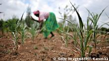 A woman working in a field with dried up maize plants (Getty Images/AFP/T. Karumba)