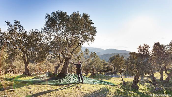 Bastian Jordan harvesting in the own olive grove on Lesbos, Greece (photo: Daniel Esswein)