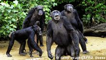 Bildunterschrift:TO GO WITH AFP STORY BY ZOOM DOSSO This photo taken on June 29, 2015 shows the feeding of chimpanzees from Monkey Island, a celebrated colony of former research lab captives on an atoll deep in the jungle of southern Liberia. The colony of 66 chimps has been at the centre of an international storm, however, since the New York-based blood bank funding it announced in March it was stopping the cash. The only significant inhabitants of the six islets, the chimps have been living an idyllic existence, fed by human volunteers on their very own 'Planet of the Apes' -- a nickname given to the archipelago by local media. AFP PHOTO / ZOOM DOSSO (Photo credit should read ZOOM DOSSO/AFP/Getty Images)