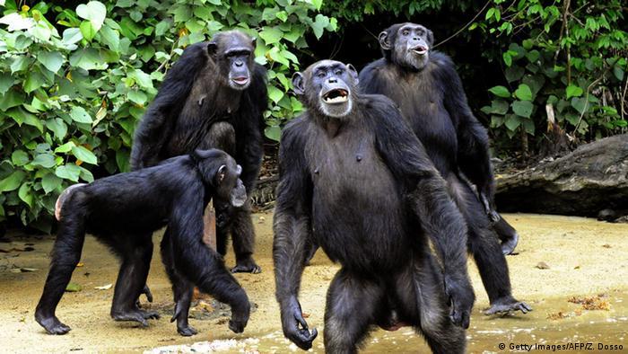 Les chimpanzés sont de plus en plus menacés par l'extension des villes