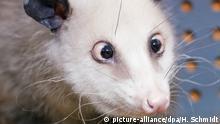 Das schielende Opossum Mädchen Heidi