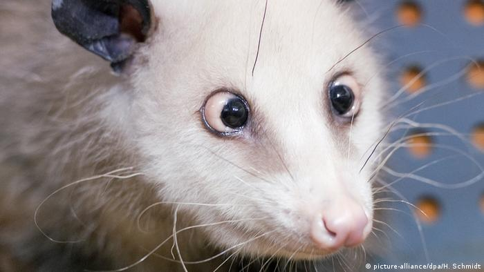 Heidi the cross-eyed opossum (picture-alliance/dpa/H. Schmidt)