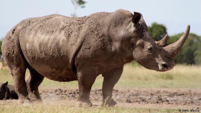 A southern white rhino is see with a calf