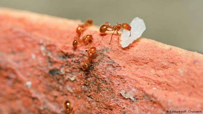 Fire Ants Feeding