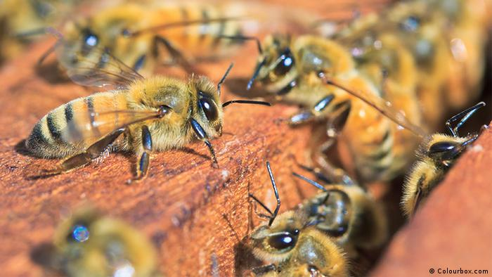 07.2015 DW Global Ideas Lebensraum Luft ME 6 Biene