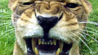 Eine Löwin zeigt Zähne