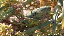 Beydaglari Bush-Cricket Grille