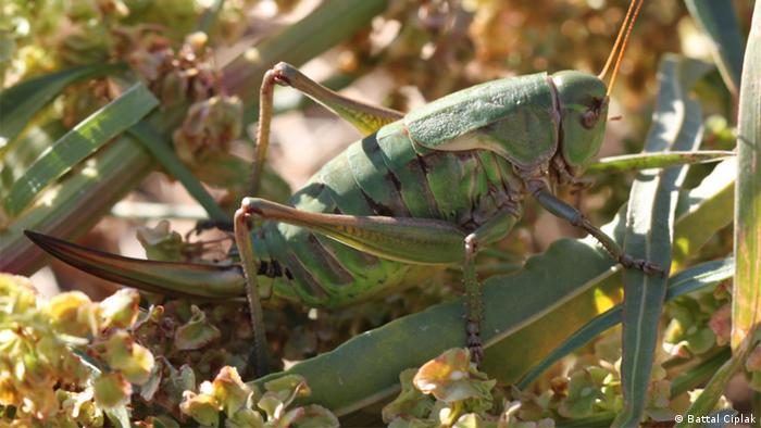 Beydaglari Bush-Cricket Turkisch Grasshoper