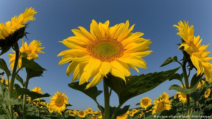 BdT Deutschland Sommerwetter mit Sonnenblumen (picture-alliance/dpa/R. Hirschberger)