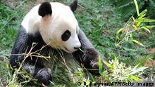 Pandabärin Jia Jia (Bildergalerie)