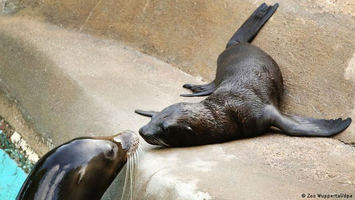 Baby animals: Kaya the sea lion, Wuppertal Zoo.
