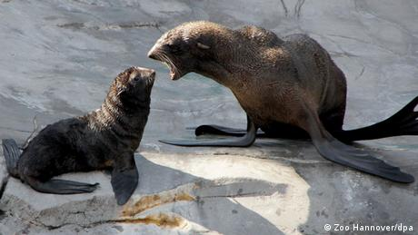 Baby animals: norther fur seal, Bud at Hannover Adventure Zoo.